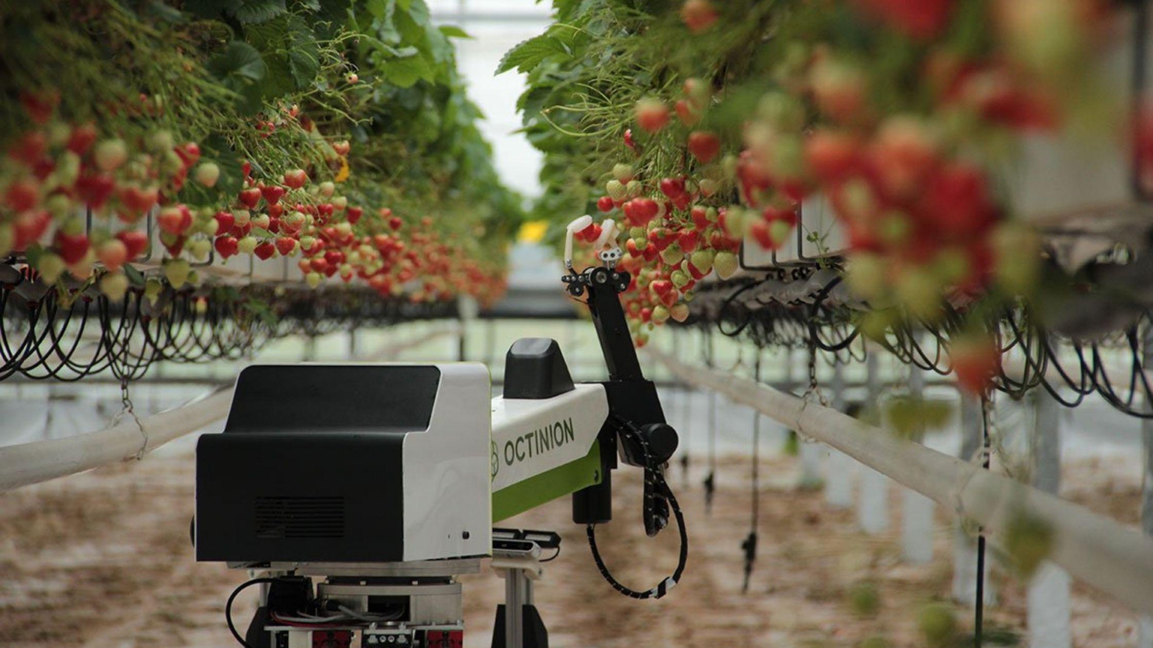 Octinion presenta Rubion: il primo robot programmato per la raccolta delle fragole